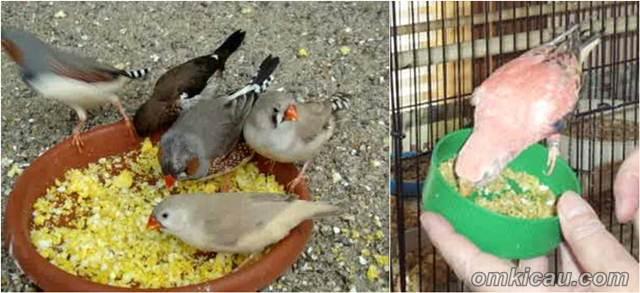Selama ini eggfood hanya diberikan pada burung jenis finch dan paruh bengkok.