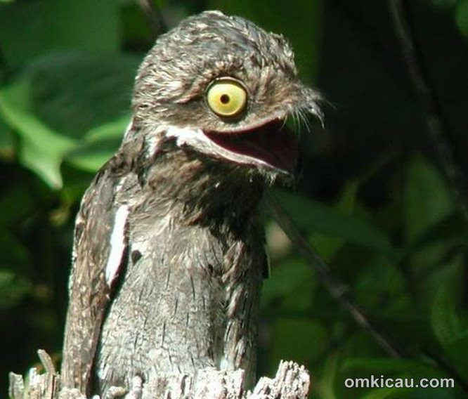 Burng potoo