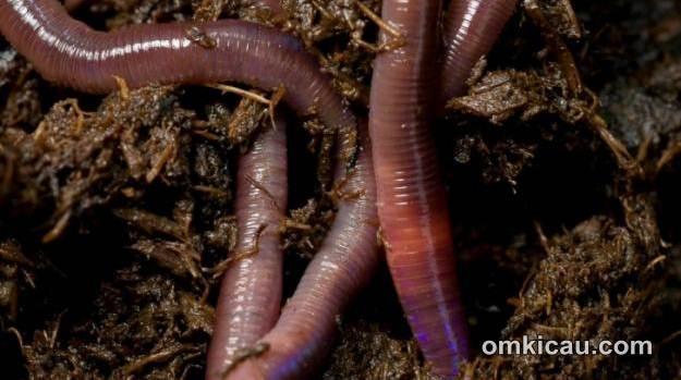Cacing tanah untuk pakan burung