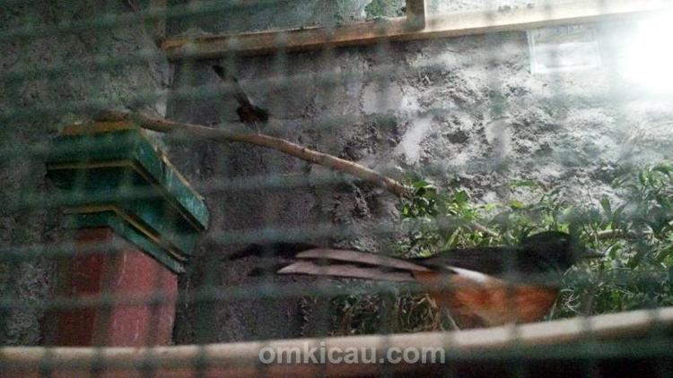 Kimseng Bird Farm, breeding murai batu