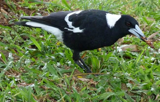 Burung jagal punggung hitam ( Australian magpie)