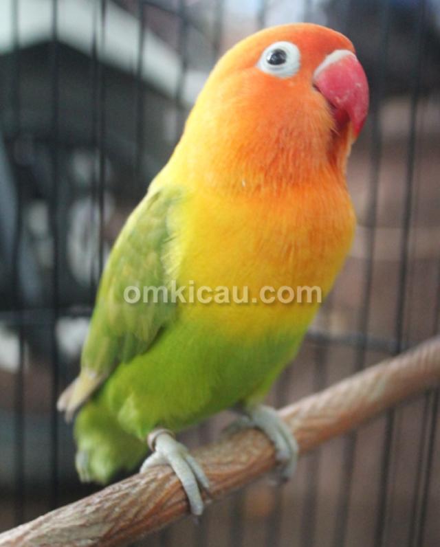 Lovebird Anting-anting