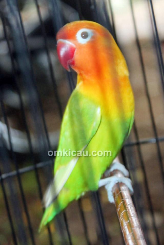 Lovebird Peny
