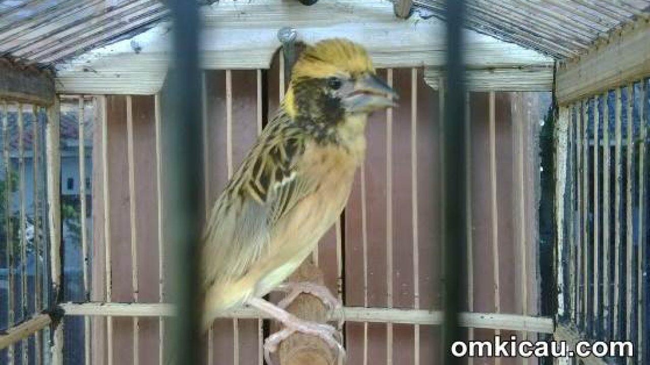 Tiga Jenis Burung Manyar Untuk Masteran Om Kicau