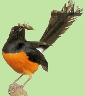 Burung tidak mau makan jangkrik