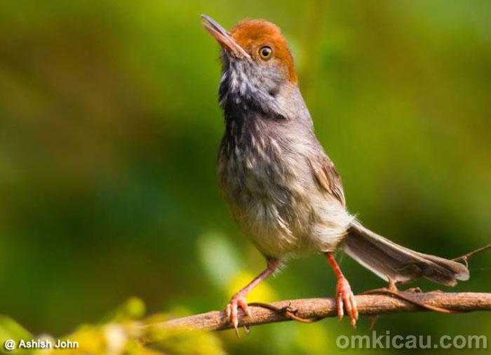 Download Gambar Burung Prenjak