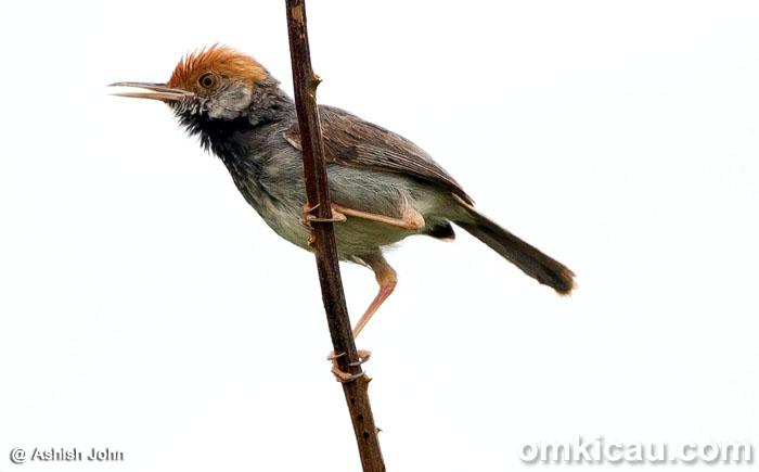 Burung perenjak kamboja
