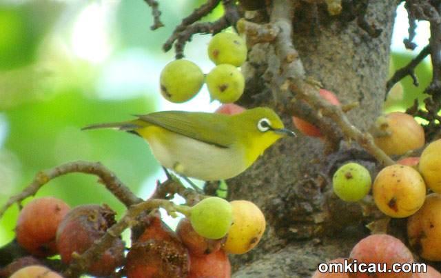 buah lengkeng