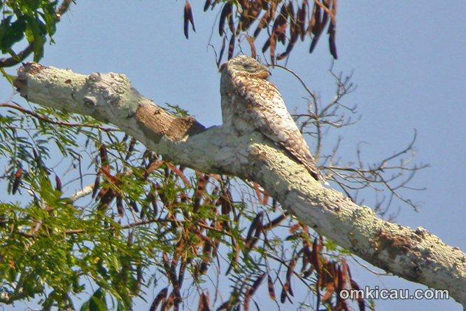 Burung potoo sering diam bertengger dibatang pohon pada siang hari