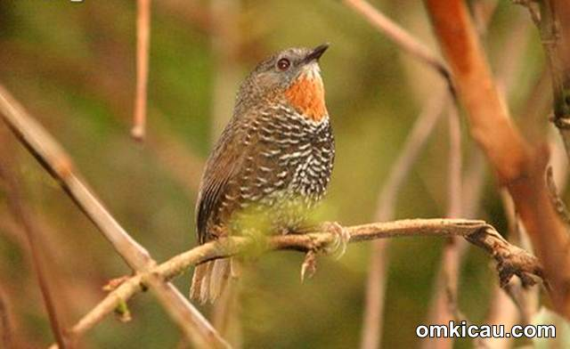 Rusty-throated wren-babbler (Spelaeornis badeigularis)