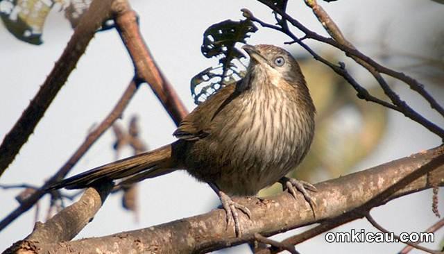 Spiny Babbler