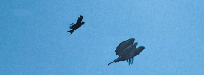 Srigunting hitam mengejar burung elang