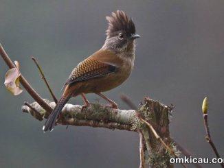Streak-throated Barwing (Actinodura waldeni)