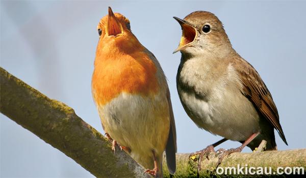 suara kicauan burung nightingale-robin eropa