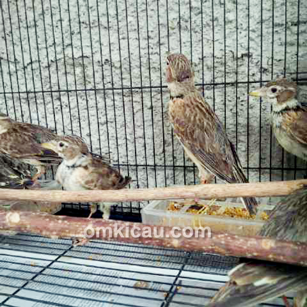 Burung pailing bahan