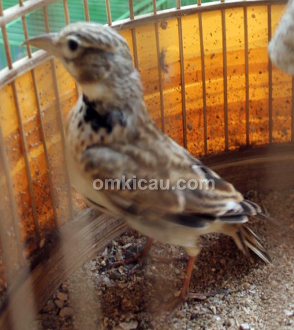 Burung pailing gacor