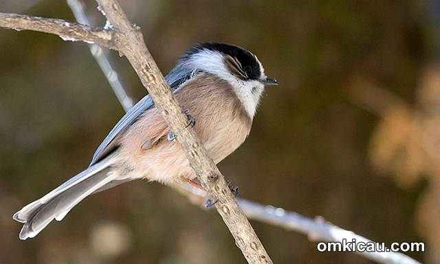 White-throated bushtit (Aegithalos niveogularis)