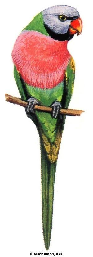 Burung betet biasa (Psittacula alexandri)