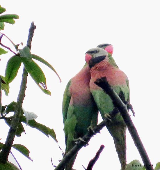burung betet biasa-2