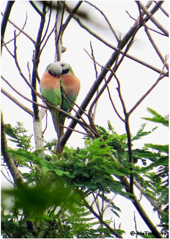 Sepasang burung betet biasa