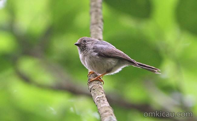 Burung cerecet jawa