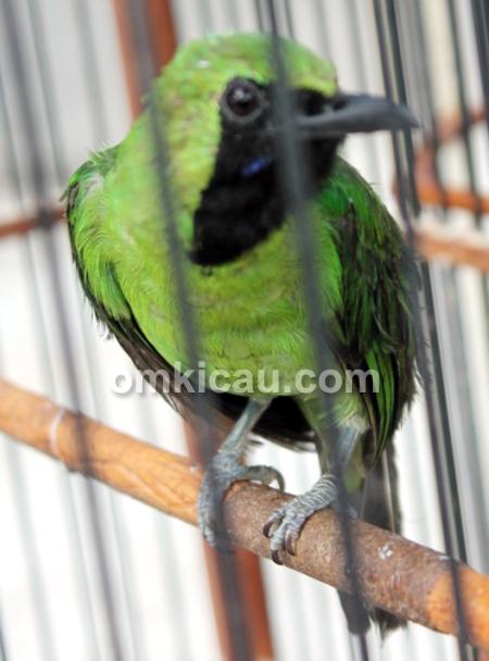 Cucak hijau The Robinho