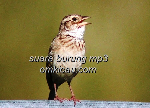 daftar lengkap suara masteran burung