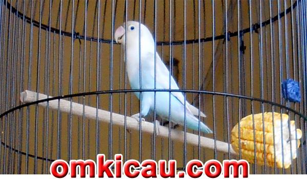 feat lovebird Salju