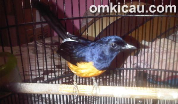 Feat murai blacktail Mercon