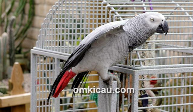 Burung grey parrot