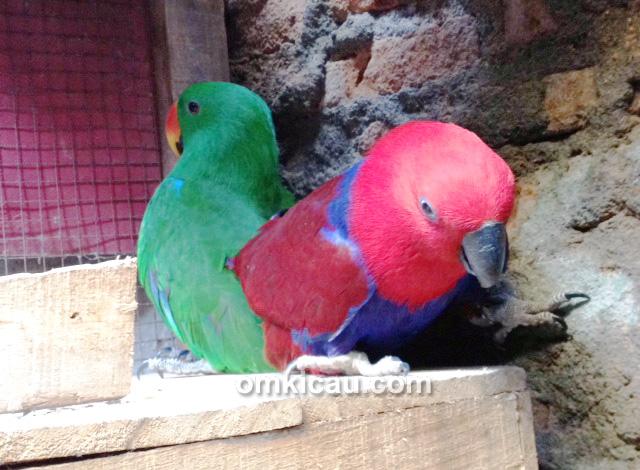 Pasangan burung nuri
