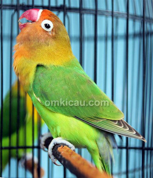 Lovebird Exotic
