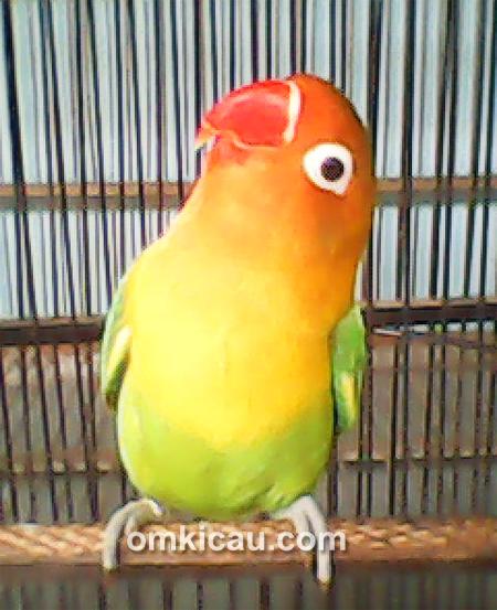 Lovebird Enjoy