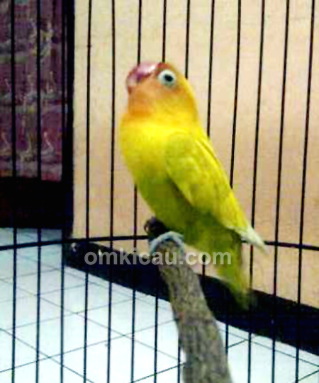 Lovebird Golden Beauty