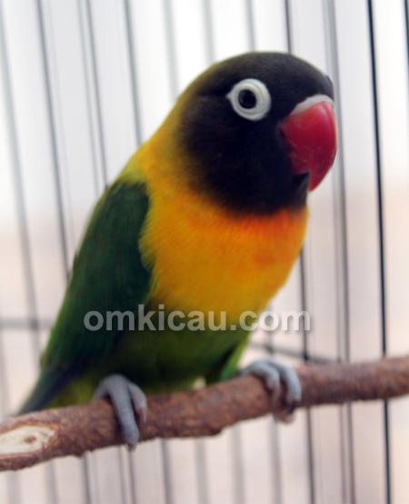 Lovebird Juwita