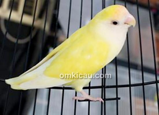 Lovebird muda milik Om Kurnia