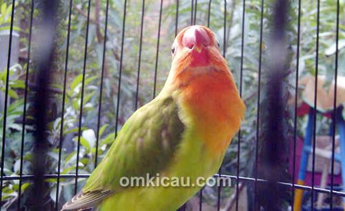 Lovebird Pletis