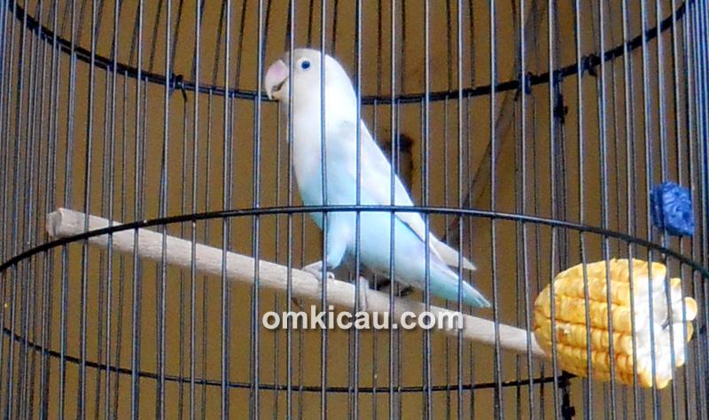 Lovebird Salju