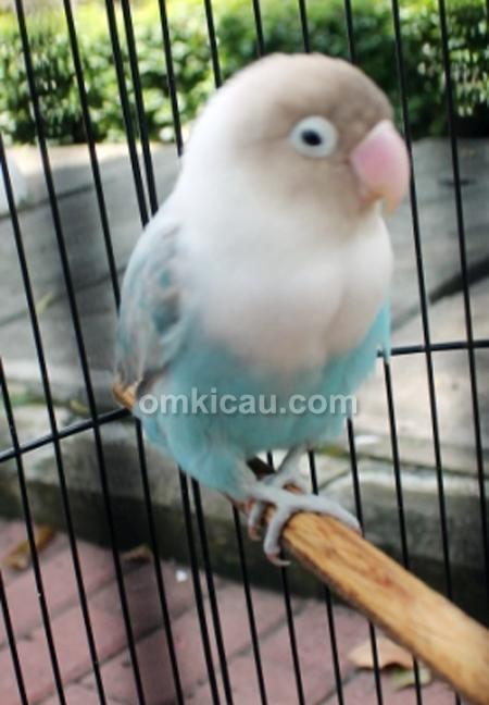 Lovebird The Gee