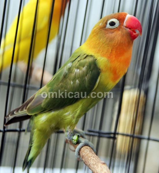 Lovebird Luwes Jr 002
