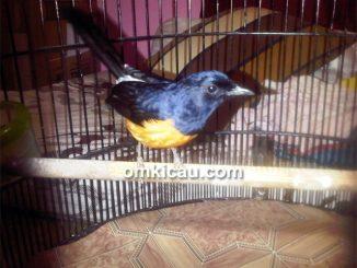 Murai blacktail asal Mentawai