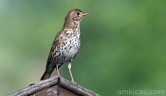 Burung song thrush