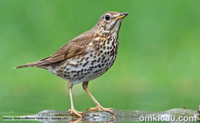 Suara kicauan burung song thrush