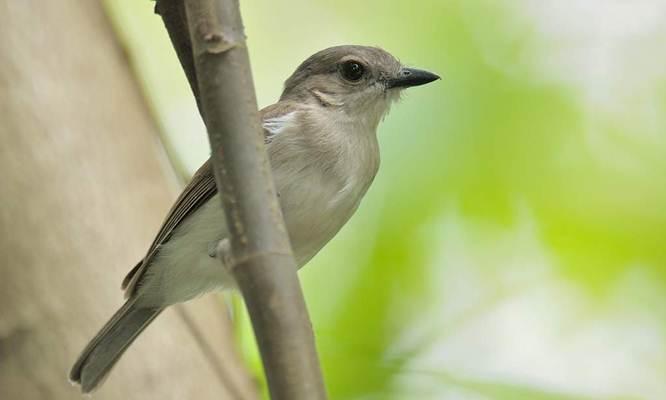 Burung kancilan
