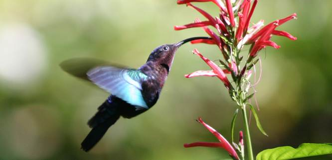 Burung hummingbird
