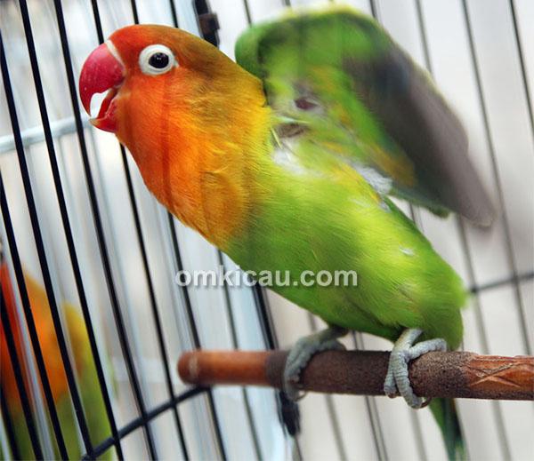 Aksi lovebird Diajeng Jr