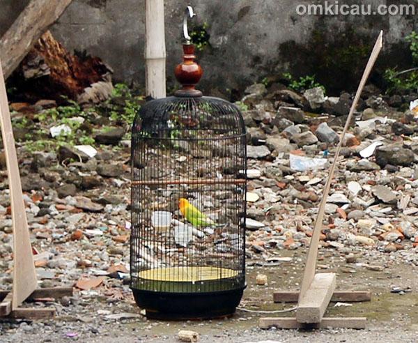 Penjemuran lovebird Barong