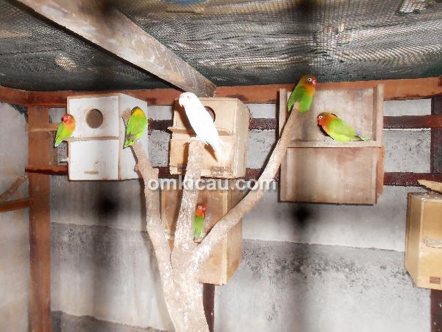 breeding lovebird Om Gunawan Jambi