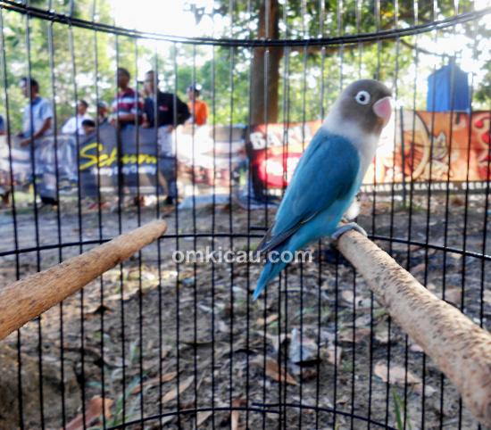 Lovebird Perex