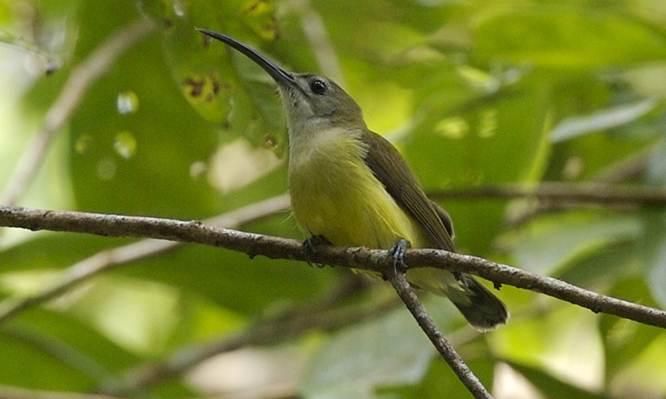 Pijantung kecil (Arachnothera longirostra)